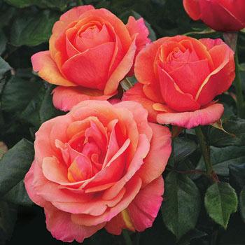 Anna's Promise Hybrid Tea Rose<sup>®</sup>