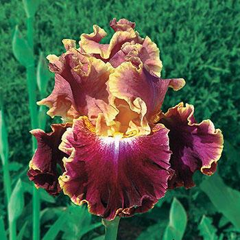 Montmartre Bearded Iris