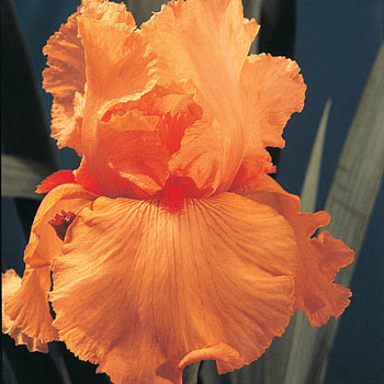 Disco Music Bearded Iris