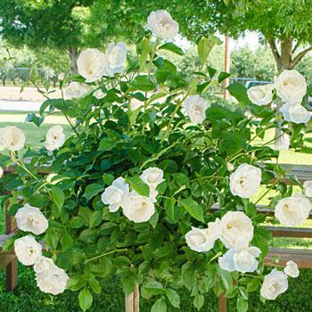 Iceberg Patio Tree Rose