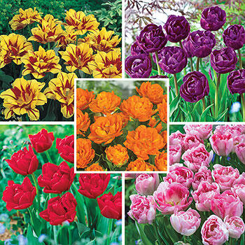Peony-Flowering Tulip Collection