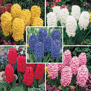 Jewel Hyacinth Collection