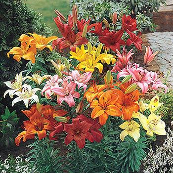 Hardy Perennial Lilies Super Bag