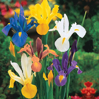 Mixed Dutch Iris