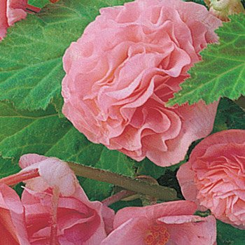 Pink Everblooming Begonias