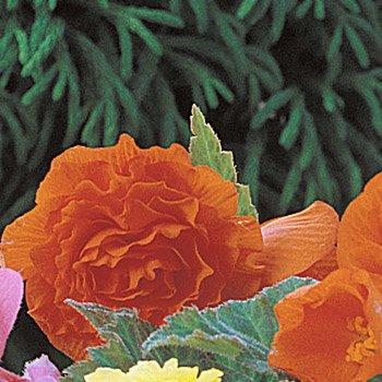 Orange Everblooming Begonias