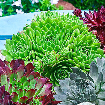 Green Wheels Sempervivum