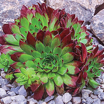 Rita Jane Sempervivum