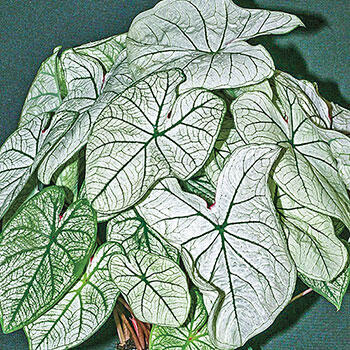 Fancy Leaf Caladium Candidum Sr.
