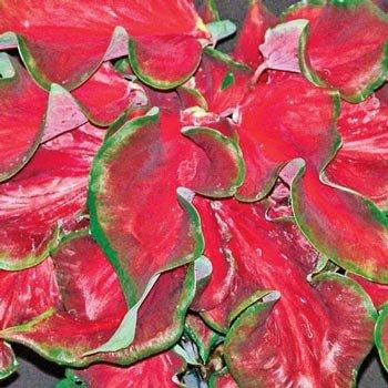 Strap Leaf Caladium Florida Red Ruffles