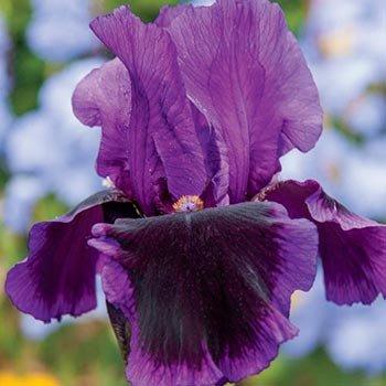 Pagan Dance Reblooming Bearded Iris