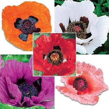 Colourful Oriental Poppy Collection