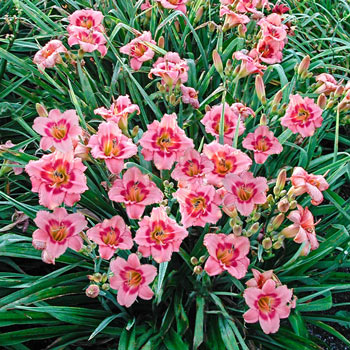 Strawberry Candy Reblooming Daylily