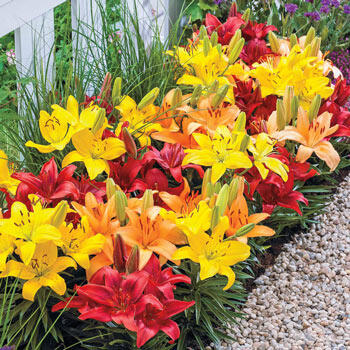 Sunset Carpet Border Lily™ Mixture