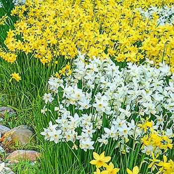 Fragrant Daffodil Yellow Sailboat