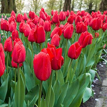 Darwin Hybrid Tulip Lalibela