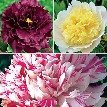 Distinctive Lifetime Peony Collection