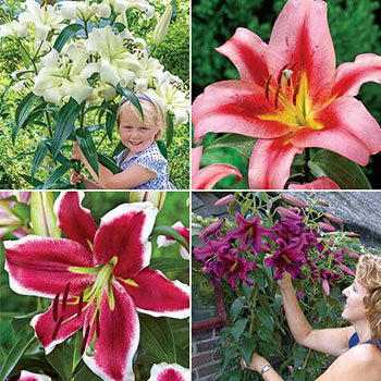 Glory of Summer Lily Tree® Collection