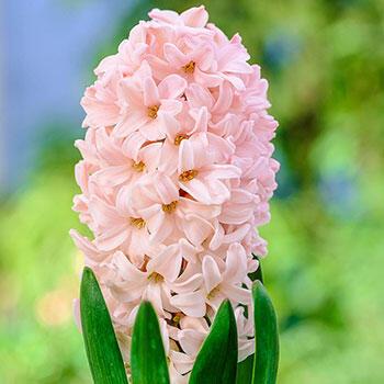 Apricot Passion Hyacinth