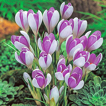 Vanguard Giant Crocus
