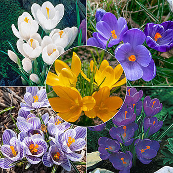 Sweet Jumbo Crocus Collection
