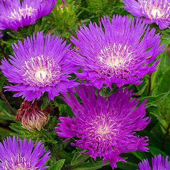 Honeysong Purple Stokes' Aster