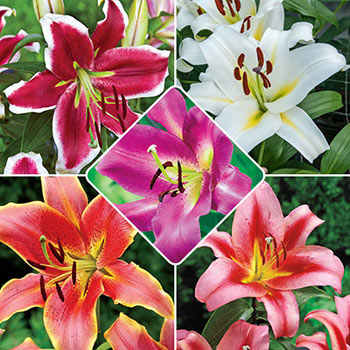 Spotlight Lily Tree® Collection