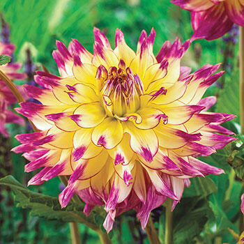 Zoey Rey Dinnerplate Dahlias