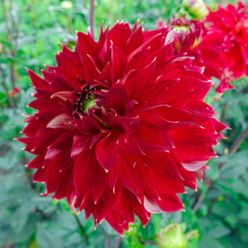 Jowey Cherbourg Dinnerplate Dahlias