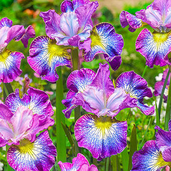 Lively & Lovely Iris Duet