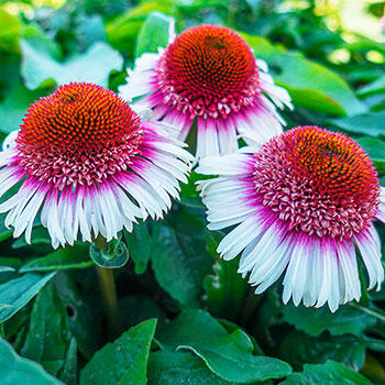 Strawberry & Cream Coneflower