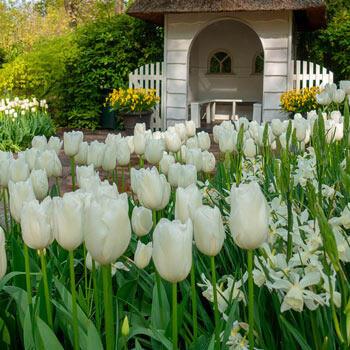 Catherina Tulip