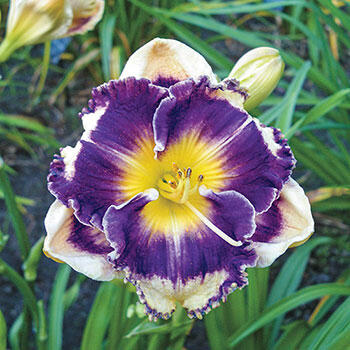 Answering Angels Reblooming Daylily