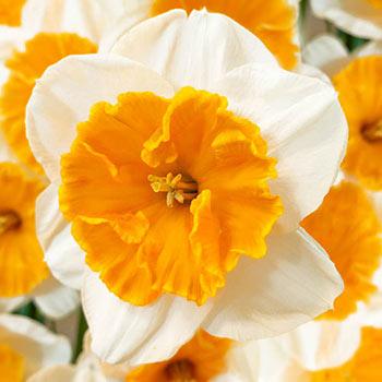 Soestdijk Daffodil