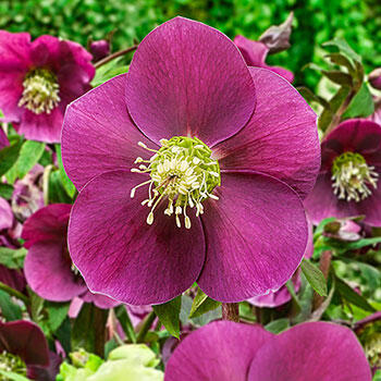 Winter Plum Wow!® King-Size Hellebores