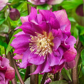 Winter Plum Double Wow!® King-Size Hellebores