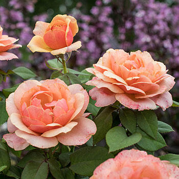 State of Grace™ Grandiflora Rose