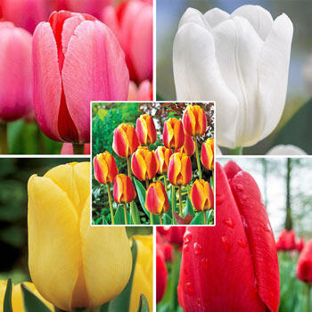 Mid Spring Tulip Collection