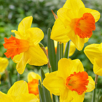 Orange Progress Daffodil