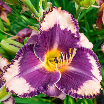Grape Sherbet Daylily