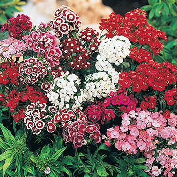 Sweet William Mixture