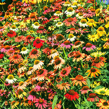 5-Count Cheyenne Spirit Coneflower Mixture