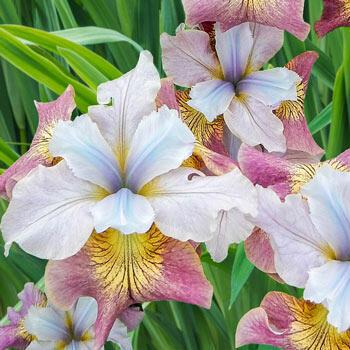 Sugar Rush Siberian Iris