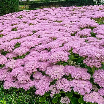 Brilliant Sedum