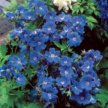 Brookside Hardy Geranium