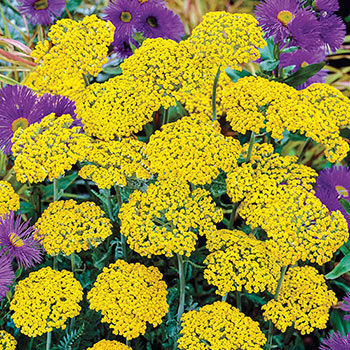 Coronation Gold Yarrow
