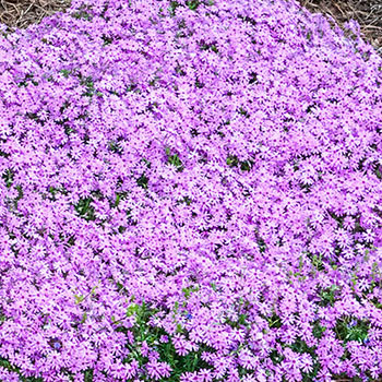Emerald Pink Carpet Phlox