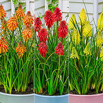 A Tenacious Little Hot Poker Collection