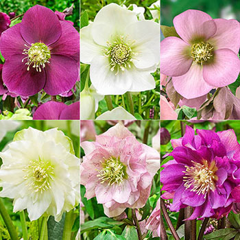 Living Legacy Wow!® Hellebore Collection