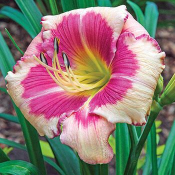 Hello Screamer Reblooming Daylily